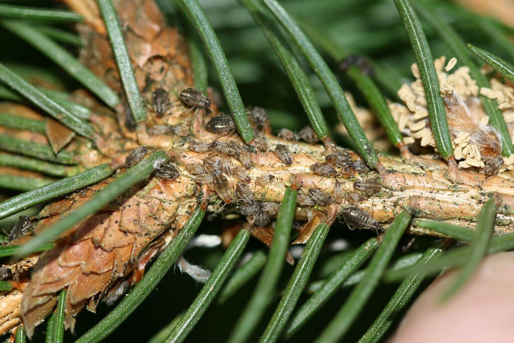 Miodownice i inne ciche szkodniki iglaków