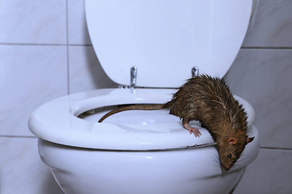 Jak bronić się przed szczurami? Mogą wejść nawet na 10. piętro!